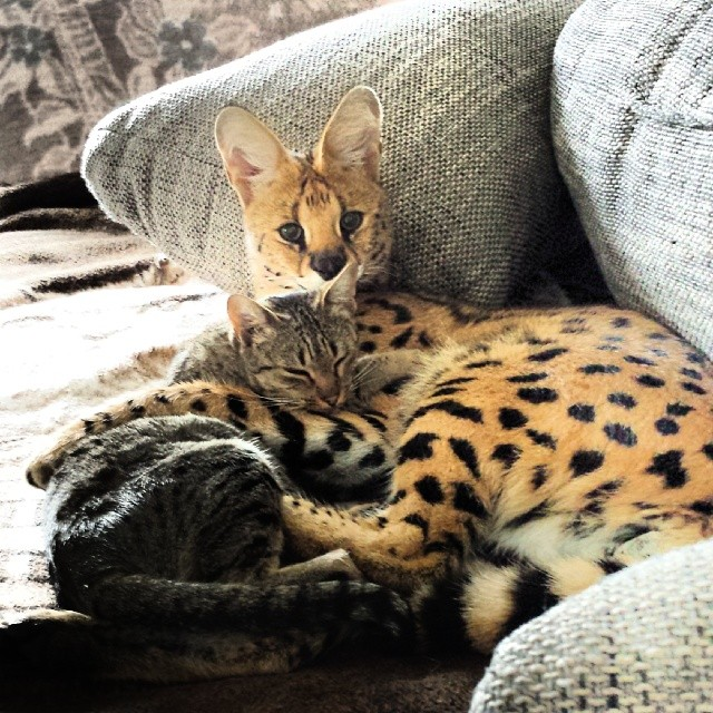 Te Dzikie Koty Uwielbiają Się Przytulać Nawet Się Nie Spodziewasz